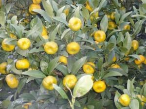 日本原産 「橘」  伊豆戸田地区自生種